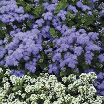Ageratum Champion Blue F1 Flower Plants