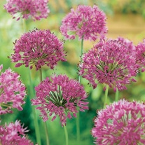 Allium Purple Sensation Bulbs