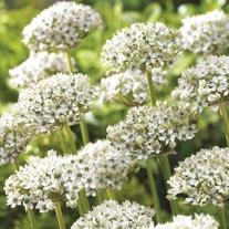 Allium nigrum Bulbs