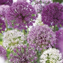 Allium Border Mixed Bulbs