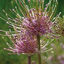 Allium schubertii Bulbs
