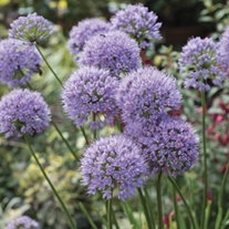 Allium In Orbit Plants