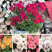 Alstroemeria Inticancha® Plant Collection