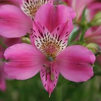 Alstroemeria Duke Edouard Plants