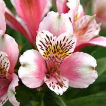 Alstroemeria Duke William Plants