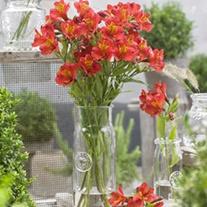 Alstroemeria Majestic Lire Plants