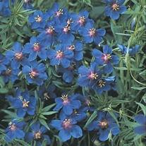 Anagallis Skylover Plants
