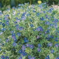 Anagallis Skylover Flower Plants