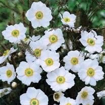 Anemone Honerine Jobert Plants