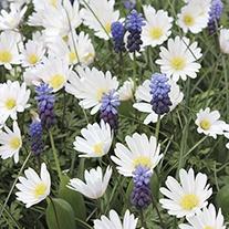 Muscari & Anemone Bulb Collection