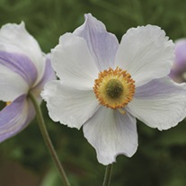 Anemone Dreaming Swan Plants