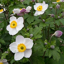 Anemone Elfin Swan Flower Plant