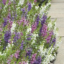 Angelonia Serena Mixed