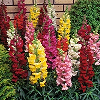Antirrhinum Sonnet Mixed F1 Plants