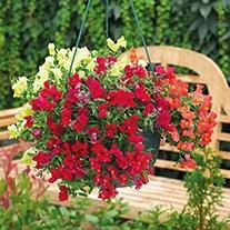 Antirrhinum Candelabra™ Mixed F1 Plants