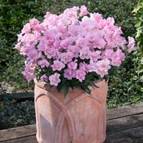 Antirrhinum Twinny Rose Flower Plants