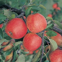 Apple Red Falstaff Fruit Tree