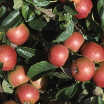 Apple Queen Cox Fruit Tree