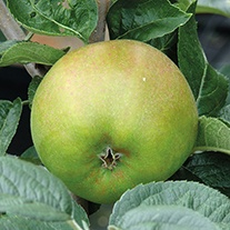 Apple Blenheim Orange 2yr old tree