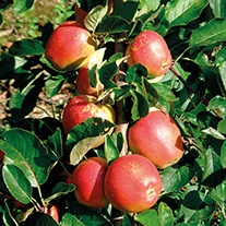 Apple Braeburn 2yr old tree