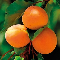 Apricot Flavourcot 1yr old maiden tree