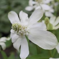 Anemopsis californicum 1ltr Mariginal Pond Plant