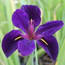 Iris louisiana Black Gamecock 1ltr Mariginal Pond Plant
