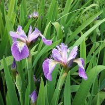 Iris versicolor 1ltr Mariginal Pond Plant