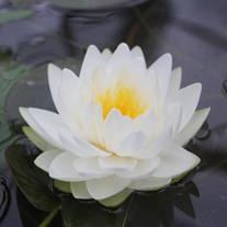 Water Lily Gonnere 3ltr Pond Plant
