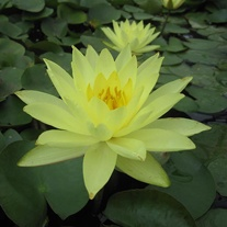 Water Lily Joey Tomocik 1ltr Pond Plant