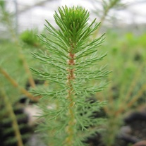 Myriophyllum crispatum