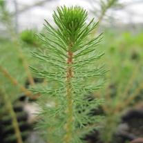 Myriophyllum crispatum 1ltr Oxygenating Pond Plant