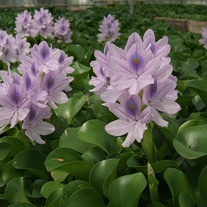 Eichhornia crassipes Major