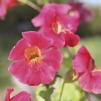 Mimulus cupreus Red Emperor 1ltr Mariginal Pond Plant