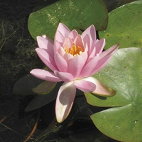 Water Lily Odorata Firecrest 1ltr Pond Plant