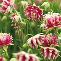 Aquilegia Nora Barlow Plants