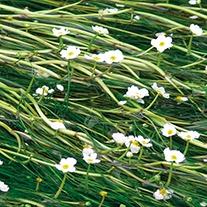 Ranunculus aquatilis Oxygenating Pond Plant
