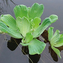 Pistia stratiotes Water Floating Pond Plants x5