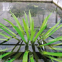 Stratiotes aloides Floating Pond Plants x 5