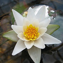 Water Lily Pygmaea alba 1ltr Pond Plant