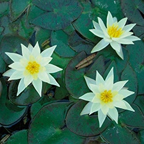 Water Lily Pygmaea helvola 1ltr Pond Plant