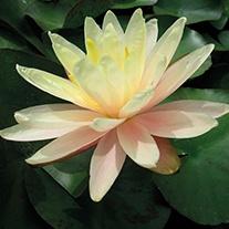 Water Lily Barbara Dobbins