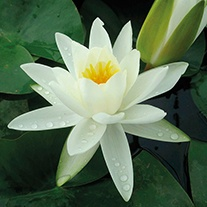 Water Lily Alba 3ltr Pond Plant