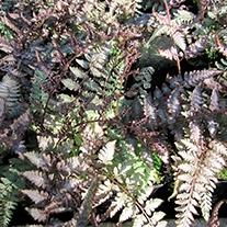 Athyrium niponicum Metallicum 9cm Moisture and Shade Loving Plant