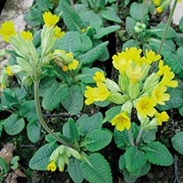 Primula veris 9cm Moisture and Shade Loving Plant