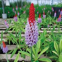 Primula vialii 9cm Moisture and Shade Loving Plant