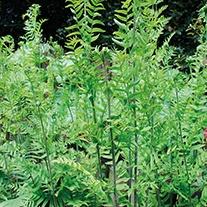 Osmunda regalis 9cm Mariginal Pond Plant