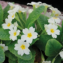Primula vulgaris 9cm Moisture and Shade Loving Plant