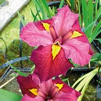 Iris louisiana 'Ann Chowning' 1ltr Mariginal Pond Plant