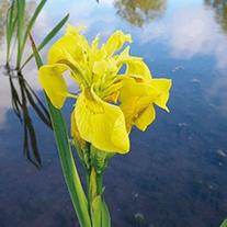 Iris pseudacorus 1ltr Mariginal Pond Plant
